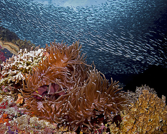 anemonefish_and_sardines.jpg