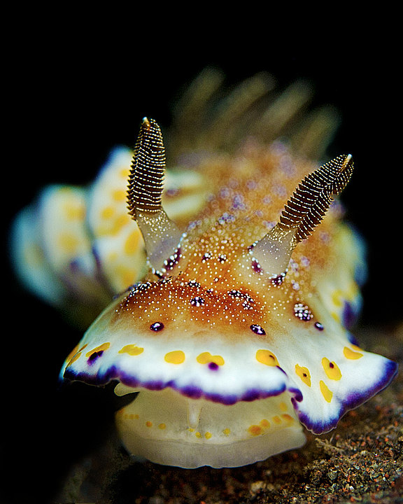 chromodoris collingwoodi.jpg