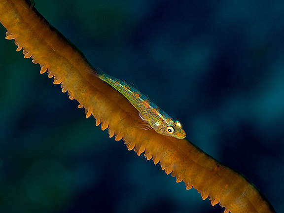 wire_coral_goby_2_640-480.jpg
