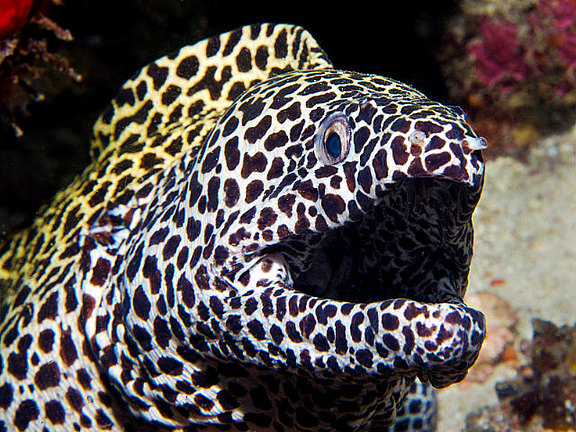 honey_comb_moray_1.jpg