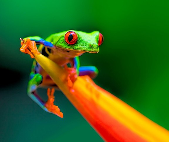red-eyed treefrog.jpg