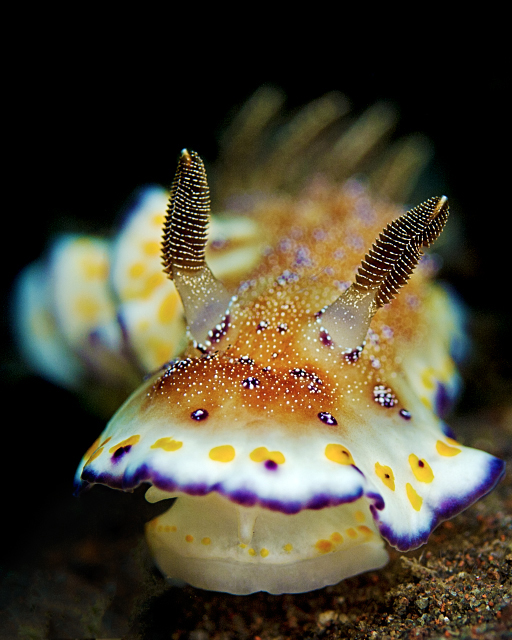 chromodoris_collingwoodi_2.jpg