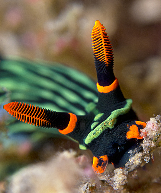 nudibranch_2.jpg