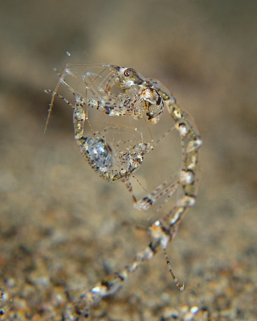 skeleton_shrimp_3.jpg
